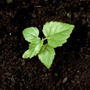 Размножение шелковицы семенами