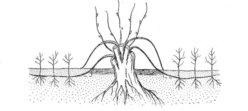 Размножаем отводками