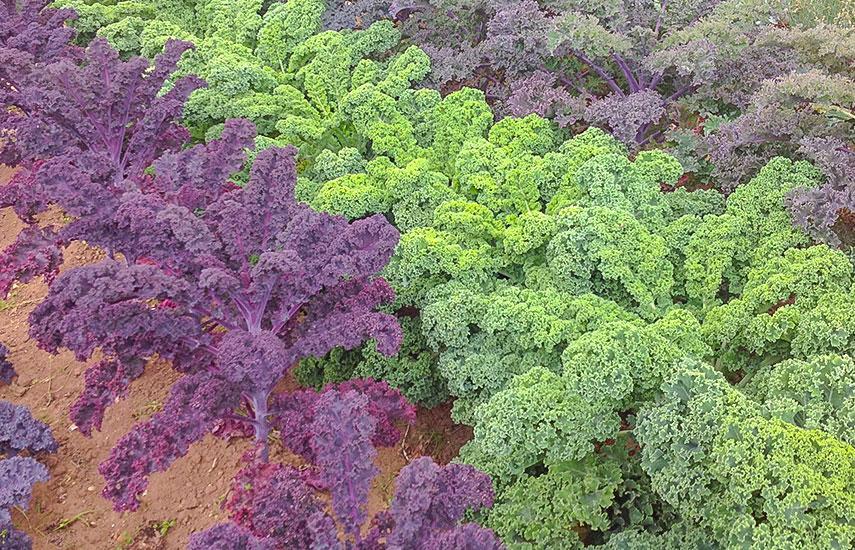 выращивание капусты кале