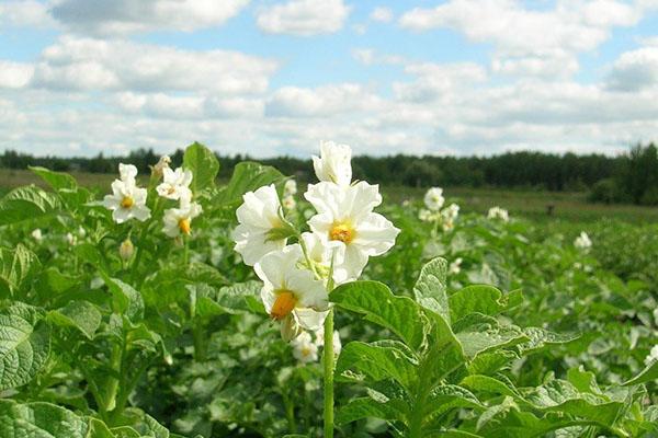 здоровая ботва картофеля