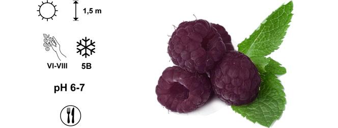 фіолетова малина Glen Coe