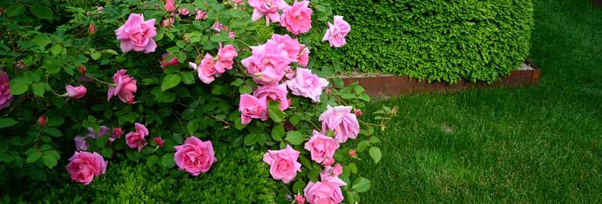 розы и хвойники