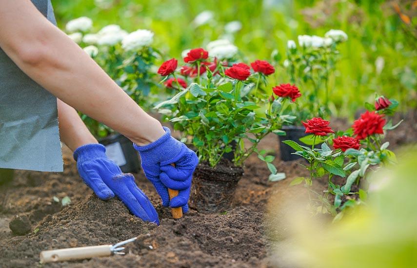 Як пересадити дорослу троянду