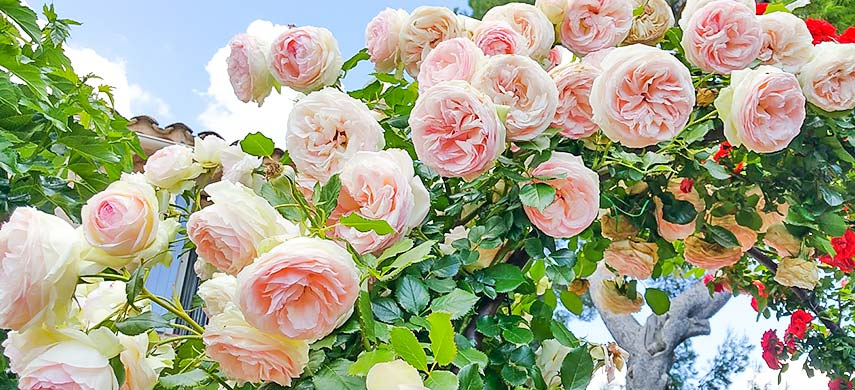 Казка літнього саду - плетисті троянди. Правила посадки і догляду