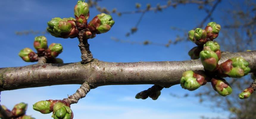 Вымерзание плодовых почек