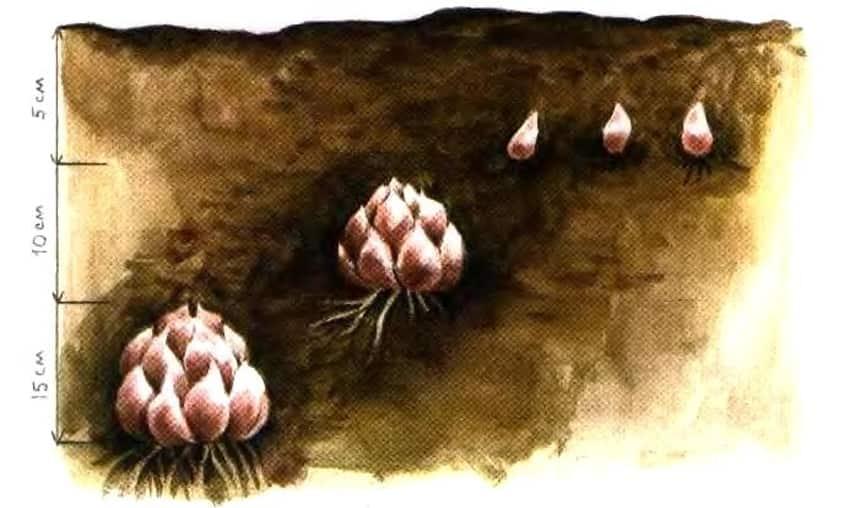 Посадка луковиц лилий весной