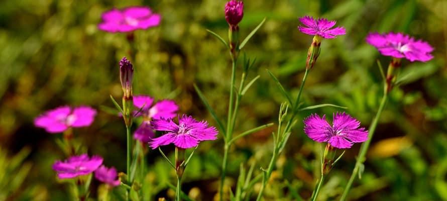 Растения для уголка дикой природы: гвоздика травянка