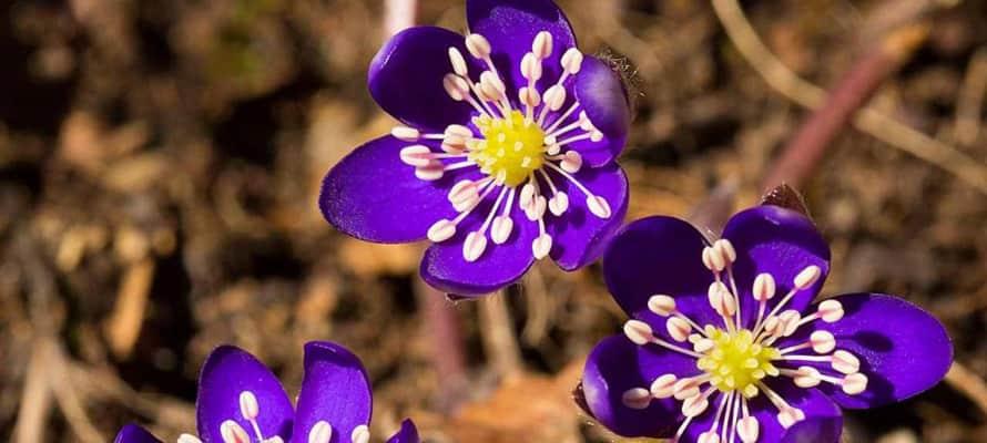 Растения для уголка дикой природы: первоцветы