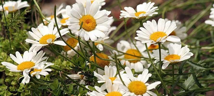 Растения для уголка дикой природы: ромашка