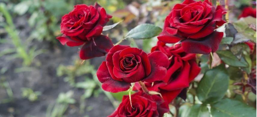 підживлення троянд восени