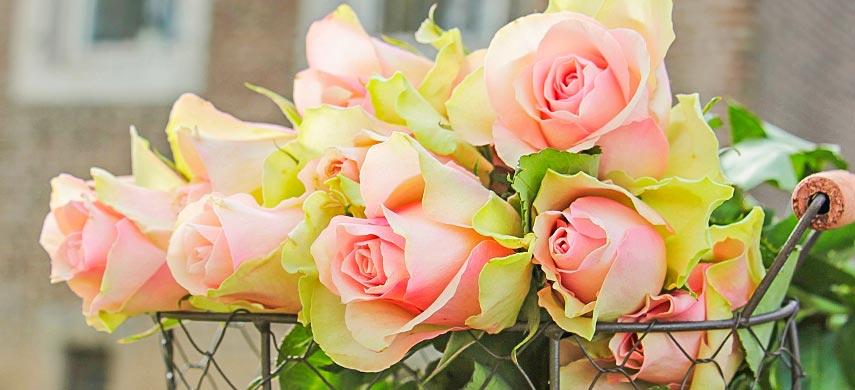 Як виростити троянду з живців від букета і отримати розкішний квітучий кущ