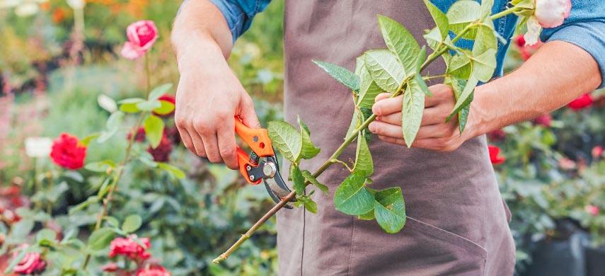 Як виростити троянду з живців від букета