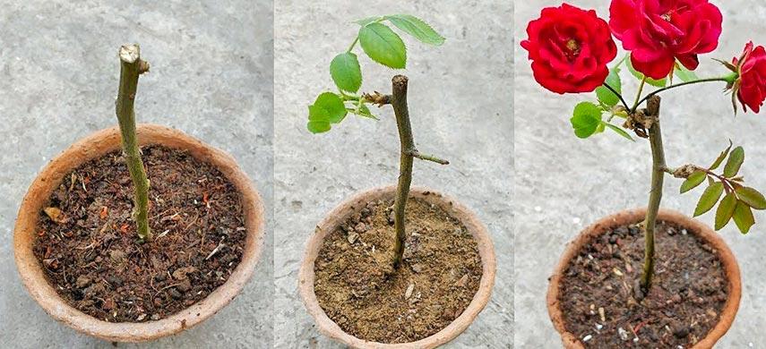 Як виростити троянду з живців від букета 2