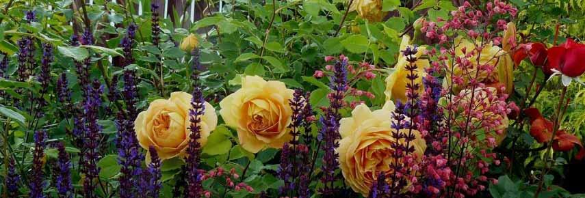 розы и многолетники
