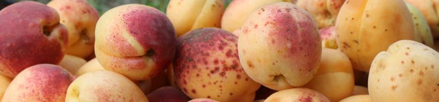 Как собрать и сохранить урожай абрикосов