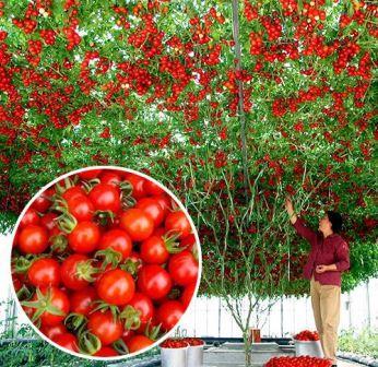 томатне дерево