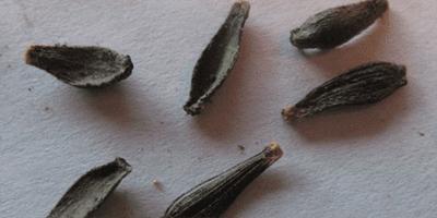 георгины из семян