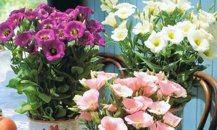 Яркие, нарядные цветы   Дом и Сад