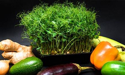 Мікрозелень   Дім і Сад