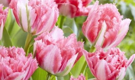 Тюльпан бахромчатый   Дом и Сад