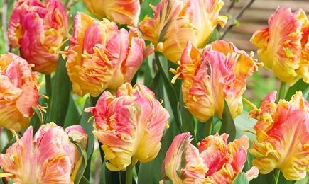 Тюльпан попугайный   Дом и Сад